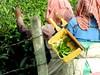 Tea Pickers, Southern India (susani2008) Tags: tealeaves teapickers india womenatwork