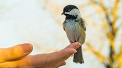 Black Capped Chickadee - A bird in the hand. (kensparksphoto) Tags: blackcappedchickadee small hand alberta canada bird