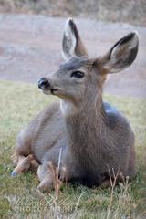 Mule Deer Yearling Buck (bellydanser) Tags: deer muledeer yearling buck animal mammal fauna nature outdoor wildlife colorado rockies carbondale