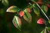 葉 (23fumi@fuyunofumi) Tags: ilce7m2 sony aimicronikkor55mmf28s nikkor nikon manualfocus macro leaf plant autumn 葉 植物 ニコン ソニー 南天