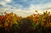 Fall in the Vineyard (Steve Corey) Tags: vineyard leaves fall grapes wine chamisal sky color