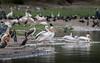 No idea how many species (MatsOnni) Tags: pelican heron kazingachannel queenelizabethnationalpark uganda