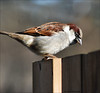 Keeping an Eye Out (John Neziol) Tags: jrneziolphotography nikon nikoncamera nikondslr nikond80 nature naturallight animalphotography animal brantford beautiful bright bird housesparrow sparrow outdoor garden fence wildlife wings closeup beak portrait feathers feather