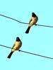 Two (markb120) Tags: bird fowl flyer flier birdie dicky dickey beak bill pecker rostrum neb nib pen feather plume blade style plumage feathering coverts coat dress head tail wire couple pair two match twosome brace