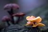 Talvijuurekas - Flammulina velutipes - Velvet shank (Henri Koskinen) Tags: velvet shank mushroom fungi sieni talvijuurekas joulukuu kivinokka helsinki finland 04122017 flammulina velutipes enokitake winter