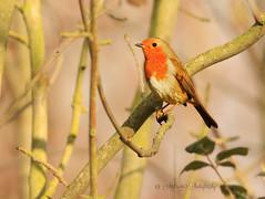Robin-Erithacus rubecula-exploed 4.12.17 #213 (~ **Barbara ** ~) Tags: bird robin wildbird wild common nature summerleys canon7dii rubecula erithacus redbrest explored 51217
