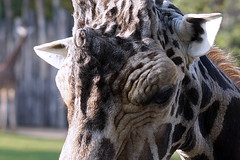 Giraffe... (ingrid eulenfan) Tags: zoo leipzig giraffe tier animal 7dwf