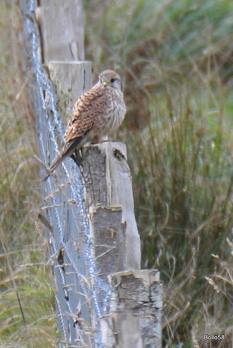 Kestrel - Home Frm Marsh 26-11-2017 13-21-47