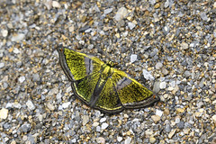 _B6A5306 (Hiro Takenouchi) Tags: vagantes coroico bolivia insect butterflies butterfly schmetterling papillon wildlife nature