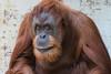 2017-08-09-Stuttgart-0459.jpg (BZD1) Tags: pongopygmaeus natuur monkey homindae nature pongoborneo orangutan mensaap mammal aap zoostuttgart wilhelmazoo animal stuttgart badenwürttemberg duitsland de