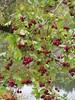 Late season colour (jamica1) Tags: salmon arm shuswap berries red bc british columbia canada
