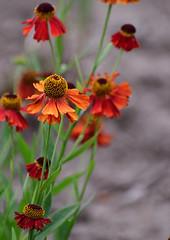 Tomorrow is ... (Steven H Scott) Tags: flower plant nature outdoor organic flowers petals green orange