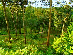 wood hill top (faruqlib) Tags: green bangladesh omar15 tea leaf nature jungle lakatura