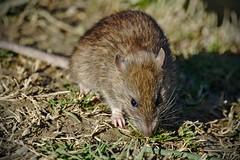 Rat d'égouts bassin Jacques Coeur Montpellier (Marc ALMECIJA) Tags: rat égouts mammifère mammal nature natur urban urbain montpellier ville city town sony rx10m3 wildlife animal