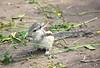 Playful Little Squirrel (Aniruddha1978) Tags: squirrel animal wild leafs green