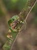 Giant Monkey Frog (Tris Enticknap) Tags: giantmonkeyfrog frog amphibians nikkor105mmf28lens nikond750 phyllomedusabicolor peru manubiospherereserve manunationalpark amazonbasin
