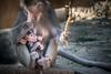 My Little Princess (helenehoffman) Tags: mother africarocks sandiegozoo conservationstatusleastconcern monkey primate mammal baby ethiopianhighlands motherandchild papiohamadryas baboon oldworldmonkey hamadryasbaboon animal