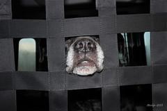 "IMG_012301 - Miss fency (Monique van Gompel) Tags: ""crazyfences"" 7dwf fences zaynah canecorso dog tamron efs1018mm astrokeofluck tripnet flickrfriday dogportrait fun funnydog pets"