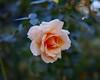 2017 Autumn Rose (shinichiro*@OSAKA) Tags: 20171121sdqh1843 2017 crazyshin sigmasdquattroh sdqh sigma1835mmf18dchsm november autumn rose yokohama kanagawa 横浜イングリッシュガーデン バラ ピンク japan jp 23874644927 2081072 201801gettyuploadesp