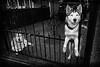 Guardians (The Glass Eye) Tags: sheffield february 2015 olympus epl3 gate dogs huskies street olympus17mmf18 ironwork pen daylightflash