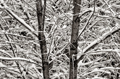 'Signal and Noise' No. 3 (Canadapt) Tags: snow winter trees branches pattern geometry bw keefer canadapt