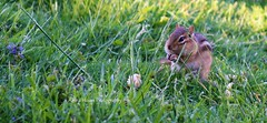 Chipmy found a treat (: (Amna :)) Tags: vertebrae animal nature photography brown green outside michigan chipmunk ❤️ treat love cute