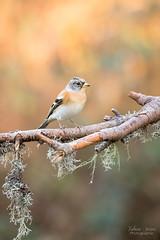 Aquarelle du soir (Fabien Serres) Tags: brambling fringillamontifringilla fringillidés oiseau passériformes pinsondunord bird