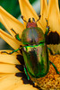 Scarab Beetle (RodShot) Tags: insect beetle scarab flower naure