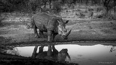 White Rhinoceros (Ceratotherium simum) (Hernan Linetzky Mc-Manus) Tags: white rhinoceros ceratotherium simum africa natgeo wild manyeleti honeyguide linetzky bw