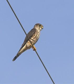Merlin, Salinas Ponds, Salinas, CA 12-08-17