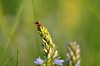 DSC_8908 (jozsef.fay) Tags: hely itthon köncsög rovar tücsök állat