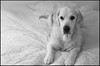 Rex (Eline Lyng) Tags: dog animal golden retriever goldenretriever portrait animalportrait bokeh dof leica leicalens manualfocus leicamonochrom monochrome monochrom m ccd aposummicron50mmf2 aposummicron 50mm animalphotography littledoglaughednoiret