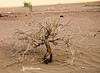 Standing Proudly (haidarism (Ahmed Alhaidari) Baaaack) Tags: standing pride proud tree bush hope despair plant sand desert rain leafs macro macrophotography ourdoor nature closeup