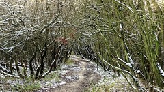 Starting with a woodland explore (eucharisto deo) Tags: winter canock chase heath railway chasewater country park staffordshire snow tree