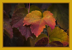 Thorndale English Ivy  bringing on the Fall color (TAC.Photography) Tags: ivy thorndale thorndaleenglishivy foliage fauna nature tomclarkphotographycom tacphotography tomclark d7100