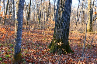 red oak tree at Marilie Forest IA 854A5157