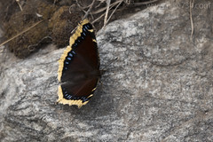 "Mourning Cloak Butterfly • <a style=""font-size:0.8em;"" href=""http://www.flickr.com/photos/63501323@N07/24440144008/"" target=""_blank"">View on Flickr</a>"