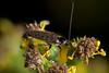 Roach Climber - _TNY_1860 (Calle Söderberg) Tags: macro canon canon5dmkii canoneos5dmarkii canonef100mmf28usmmacro raynox dcr250 flash meike mk300 glassdiffusor insect cockroach duskycockroach ectobius lapponicus skogskackerlacka kackerlacka blackbackground f19