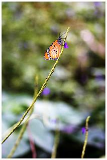 樺斑蝶    Danaus chrysippus