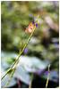 樺斑蝶    Danaus chrysippus (Alice 2017) Tags: hongkong 2017 winter nature butterfly flower bokeh sonya6000 a6000 sony adaptor manuallens emount contaxgmount gmount contax carlzeiss zeiss 90mmf28 ilce6000 sonnar plant saariysqualitypictures autofocus