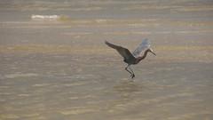 DSC04898 (Matthew283) Tags: bolvar wildlife 11182017 reddish egret