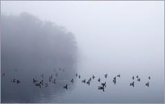 Geese In Fog (sorrellbruce) Tags: fog geese flock political
