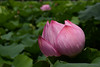 Nelumbo nucifera (Hachimaki123) Tags: 東京 日本 tokyo japan uenopark parqueueno 上野恩賜公園 plant planta flor flower 植物 花 nelumbonucifera flordeloto loto lotus