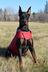 DSC_0061 (justinluv) Tags: achilles doberman dog dobe dobie dobermanpinscher eurodoberman canine