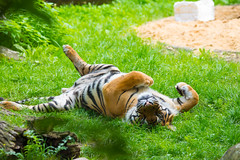Purr Purr Cat is watching you (Andriy Golovnya (redscorp)) Tags: tiger augsburg zoo cat watching purr purrpurr