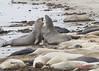_MG_2426 (Wolfram 3) Tags: seascape mammal animal elephantseal wildlife anonuevo