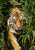 Sumatran Tiger (Ukfalc) Tags: sumatrantiger tiger cat mammal bigcat panthratigrissumatrae puna whf wildlifeheritagefoundation thebigcatsanctuary headcorn kent canon 7dii 70300l animal 2015