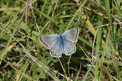 Chalkhill Blue (male) (Dr Wood's Wildlife Photos) Tags: chalkhillblue polyommatuscoridon bleunacré argusbleunacré silbergrünerbläuling sølvblåfugl ανοιχτήλύκαινα çokgözlüçillimavi niñacoridon butterfly rodboroughcommon