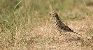 Meadow pipit-