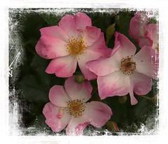 The Heart of a Garden (Audrey A Jackson) Tags: canon60d rhs rosemoor devon garden rose petals nature perfume beauty colour pink